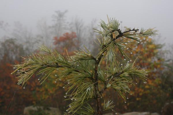 fall pine dew 600w