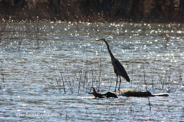 Great Blue Heron at attention