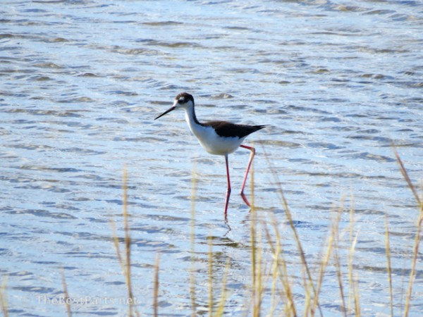 Black-necked Stilt 3
