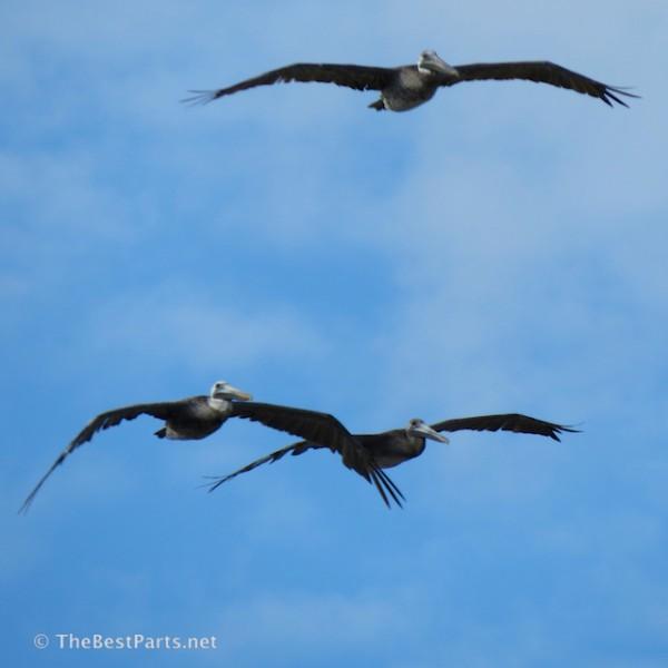 Brown Pelicans coming