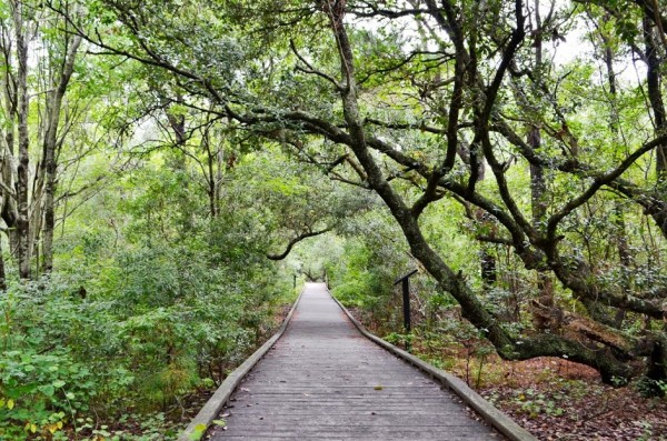 Maritime Forest Boardwalk Trail